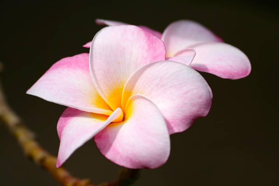 Hawaii Uke History